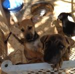 A few of the puppies at Alisons www.islaanimals.org